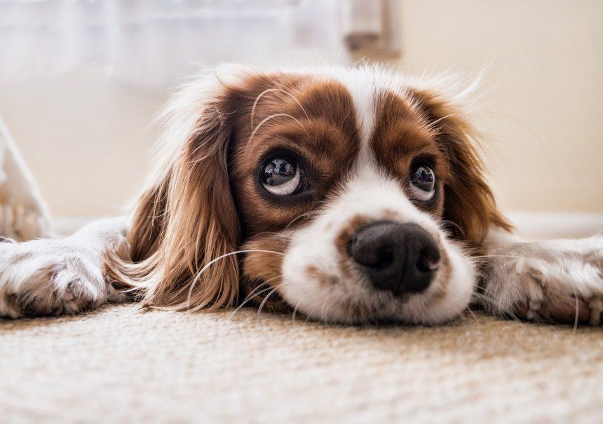 Dog Sad Waiting Floor Sad Dog Pet Puppy Animal