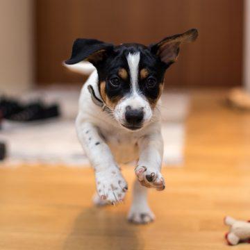A small dog looking at the camera
